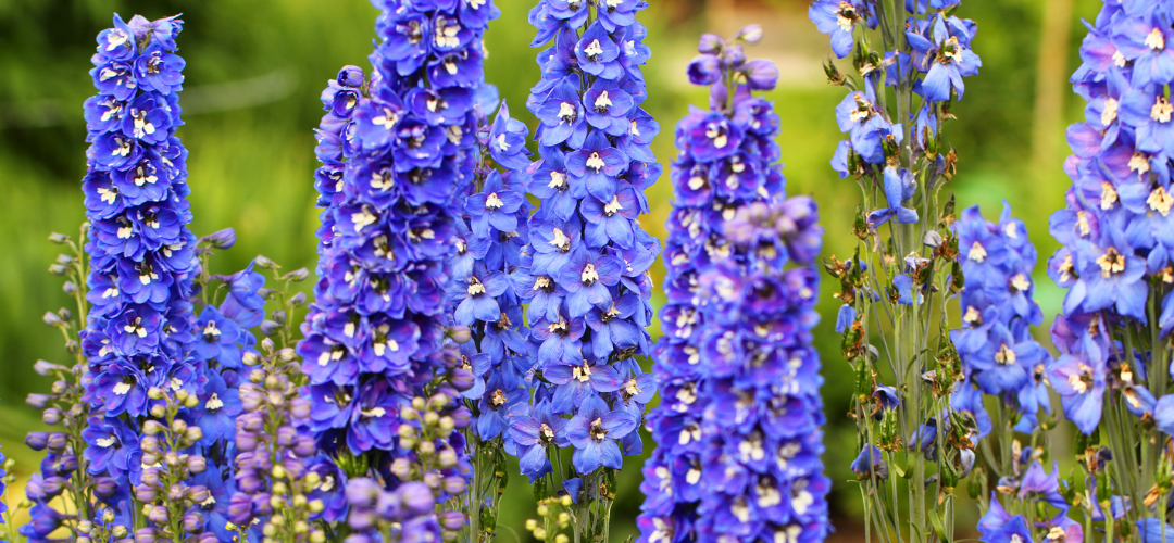 Flower of the Month- Delphiniums