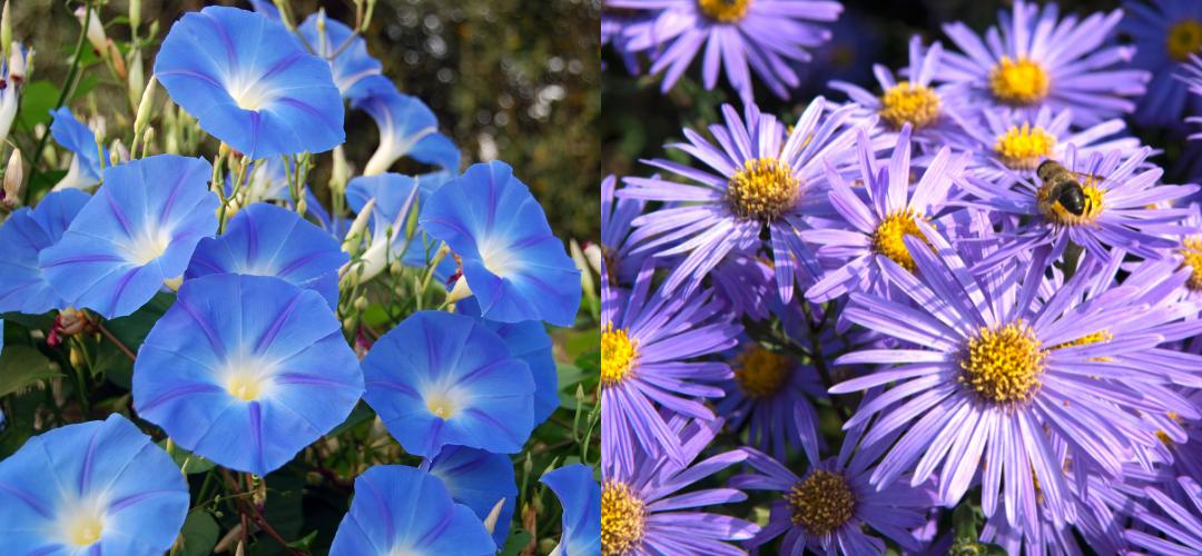 September Flower of the Month- Aster & Morning Glory